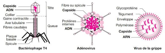 structures de virus