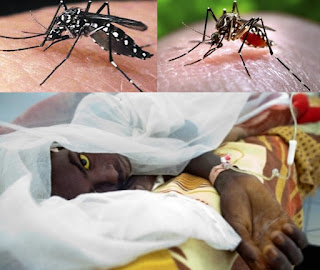 Mosquitoes are one of the deadliest animals in the world. Zika, dengue, chikungunya, and yellow fever are all transmitted to humans by the Aedes aegypti mosquito.