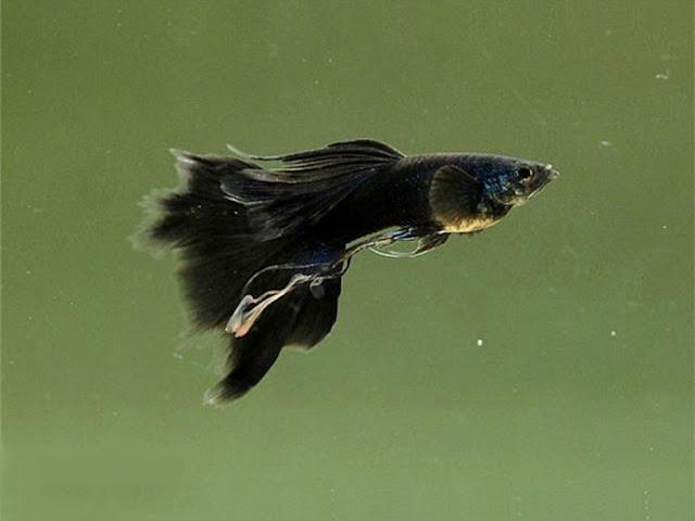 Dunia Ikan Hias - GUPPY FULL BLACK THAILAND