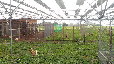 Free range chickens out in the run. Solar sharing farm.
