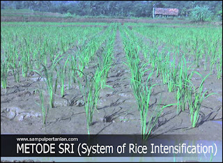 10 PRINSIP DASAR pola tanam SRI (System of Rice Intensification)