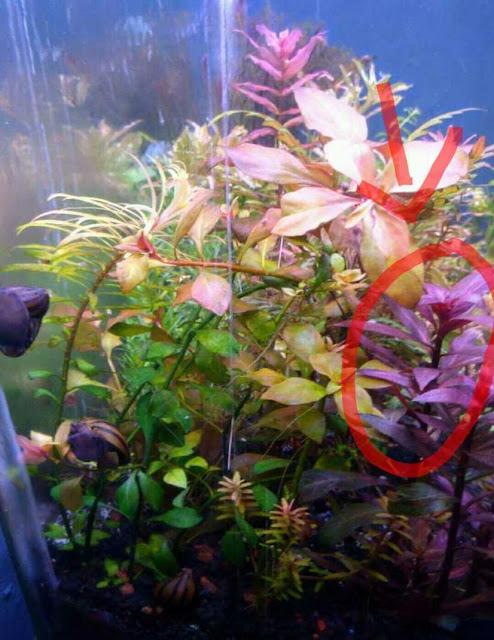 Tanaman Aquascape Atau Aquarium Alternanthera Reineckii Mini