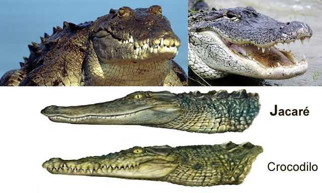 Jacarés e Crocodilos