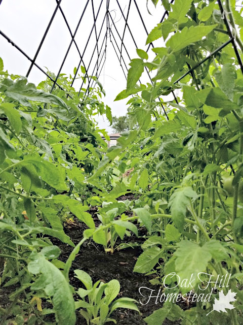 Continue to train your plants as they grow, weaving them into the trellis and tying them where needed.
