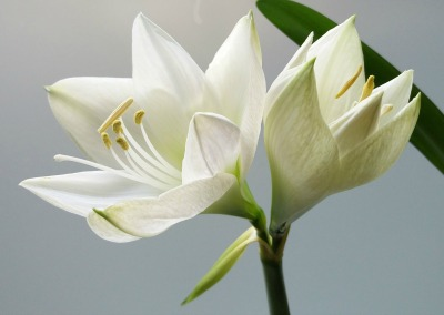 Two white lilies on a grey background, one still in the process of blooming