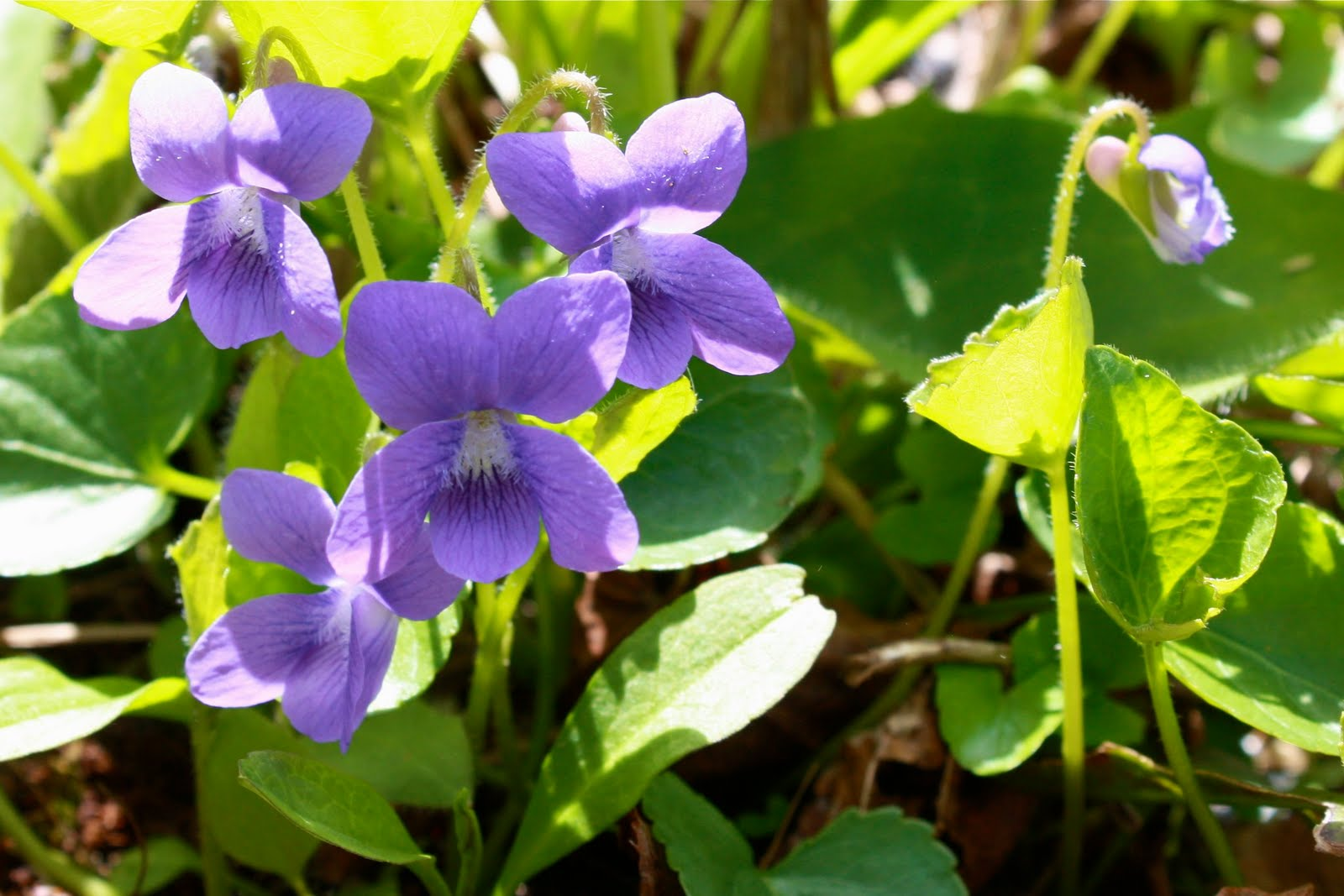 purple violets Canadian Provincial Flowers Pinterest