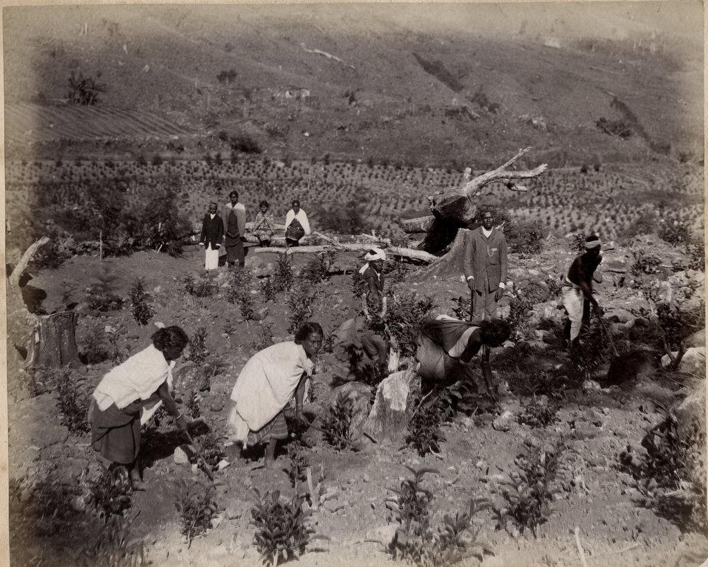 Tea Plantation in India - c1880's