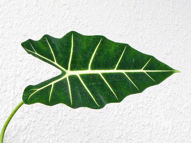 Alocasis amazonica, plant, leaf