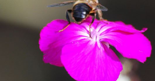 Wiltshire bees - not the only pollinators