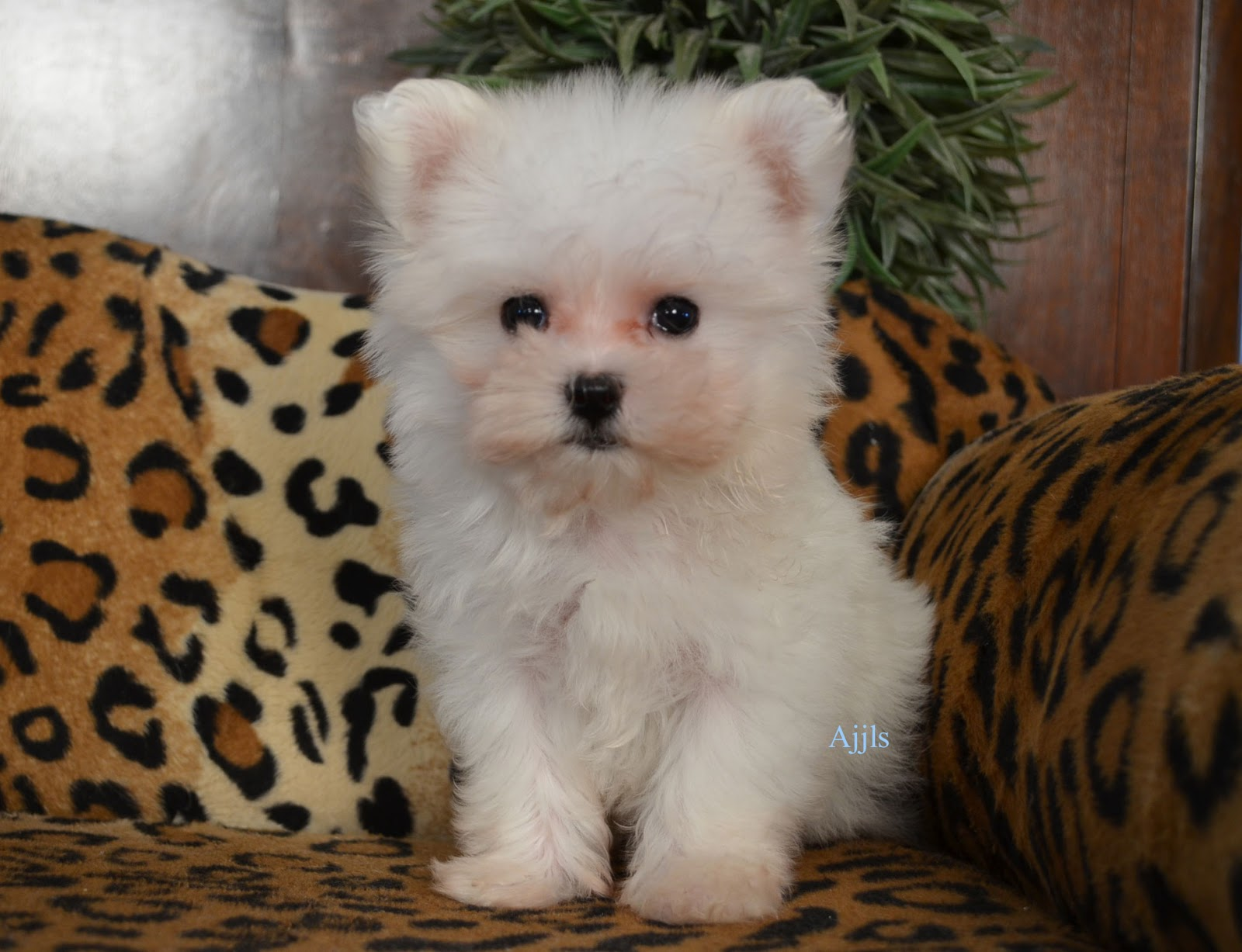 teacup maltese price teacup maltese puppies and dog pictures gallery pictures 8582