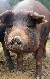 humor cerdo iberico