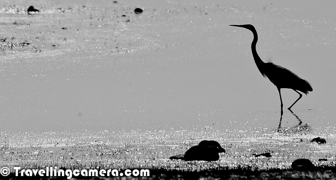 It's been quite some time that we have been sharing colors from Pong Dam Lake, Kangra and Masroor. Now we are sharing some of the late evening shots with silhouettes from Pong Dam Birds and some interesting features of the place. Silhouettes are one of the brilliant form of Photographic expression which tells one of the basic sights of a place or event. Let's have a look at this Photo Journey with lot of Silhouettes from Pong Dam Lake with thousands of Migratory Birds in Winters of 2012 !!!Flying Birds and people in the boat, all looking for same thing in this huge Lake - Fish. Note a huge flock of shining birds floating on other end of this lake. Thousands of Migratory Birds come to Pong wetland during winter season of every year. Pong is really a paradise for Birders.Fisherman going to market after collecting the fish-net and parking his boat on shorelines of Pong Dam Lake. Now it's time to go to the market and sell the lot of caught fish on current market Rate. Some of the species are rare in this lake and sold at very high cost, although original cost is negligible as compared to the price charged from end-user in cities like Delhi.Here is my favorite Silhouette of multiple water-boats in front of sparking water of Pong Dam Lake. The Sparking water looks amazing during early mornings or sunset time. Some of the stretches of Pong Dam Lake give amazing views of sparking water. A Gull standing on single feet and few Cormorants sitting on a smallest possible island inside Pong Dam Lake This Silhouette could have been better as lot of birds around this place could have been used to create a nice frame to add more value to this composition. Earlier I was not happy during late evenings, as light was extremely low and we could not capture the birds in our Travelling Cameras. On top of that we were standing against sun. But at the same time, we got this opportunity to try out some Silhouettes at Pong Water Reservoir, which is in Kangra Region of Himachal Pradesh State of India.I love this photograph as it really gives me an impression of late evenings at Pong Dam Lake. Peaceful environment with some mist in air and birds floating in water. After spending some time watching these birds may end your day with very warm feeling. At times, these birds are naughty and try to have various plays in water. Some of the species keep their head inside the water and keep their tails up. They float amazingly with the flow of water and against various water waves. This was first time I extremely enjoyed watching birds with credit goes to all folks whom I was accompanying during this trip and Mr. Dhadwal, who is a passionate wildlife Professional in Himachal Pradesh.Lot of birders come to pong wetland during winters and lot of migratory birds come to this place during this season. Birdwatching or birding is the observation of birds as a recreational activity. Most of the birders use devices like binoculars and telescopes, or also enjoy listening to bird sounds. Birding often involves a significant auditory component, as many bird species are more readily detected and identified by ear than by eye. During this visit, I also got an opportunity to attend a session which was mainly on birds and how should we watch them without creating any problems for them. During the same talk, DFO Hamirpur, Mr. Satish Gupta talked about this - Eyes and Ears of a Birder needs to be synchronized to have maximum fun of bird watching. Most birdwatchers pursue this activity mainly for recreational or social reasons, unlike ornithologists, who engage in the study of birds using more formal scientific methods.If we talk about Silhouette Photography - When we are getting ready to take silhouette photographs, there are a couple things to keep in mind.  These tips work for both digital and film photography.  We need to make sure that we never point Camera lens directly at the sun. If there is too much light, the light will fall on our object.  If there is not enough light, our background will become gray.  The main key to silhouette lighting is having a background lighter than our object, but this can be done in more ways then one.  Many photographers focus on a certain time of day, where their subject is, what kind of weather there is, and where the sun positioned in the frame. I am huge fan of Silhouettes and some of the silhouettes shot during last five years can be seen at - http://phototravelings.blogspot.in/2010/10/photo-journey-through-some-of.htmlBird-watching, Photography, exploring new places like Pong & Masroor and lot of evening fun with professional wild-lifers and passionate birders; what else I can expect from one trip of two days. The whole experience of Kangra trip was amazing. This was one of the unique photography trip for me where I fallen love with such lovely subjects. This was first time I preferred to watch birds rather than keeping myself busy in clicking photographs. Right company also made be disciplined, otherwise I could have disturbed these birds unknowingly.Here is a photograph of fields around Pong Dam Lake. Th land around this lake is best for agriculture. Folks from surrounding villages come to these fields for protecting their crops from birds. Some of them also try to catch these birds with unethical tricks, which is a sad part. Most of this agricultural land was taken by land by paying appropriate money to localities, but still this land is used during winter season.Little Egret with little cormorant standing one shoreline of Pong Water Reservoir at Meenu Khad region of this wetland in Himachal Pradesh, India.Birders still looking for more birds during late evening at Pong Dam Lake near Nagrota Suriyan. Apart from these devices for helping eye, their hearing senses are also very strong which help them looking in right direction and locate birds even behind the bushes. At times, sounds are there but birds are visible, but experienced birders have another sense of judging if the bird will come out or not.Finally I thought of adding a colorful photograph to this series of silhouettes shot during late evening time at Pong Dam Lake in Himachal Pradesh.Lot more Photo Journeys to come from Pong Dam...