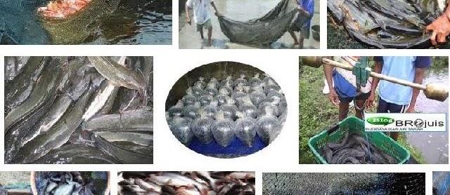Panen dan Pasca Panen Ikan Gurami yang Baik Sesuai Prinsip