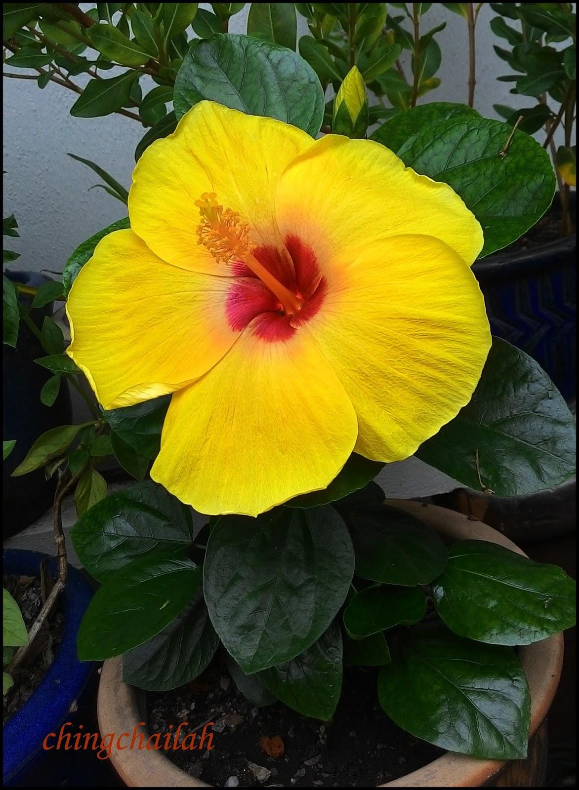 Simple Living In Nancy Growing Yellow Hibiscus In My Garden