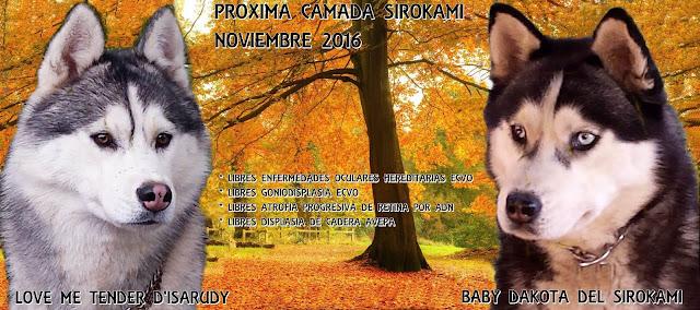 LOVE ME TENDER D'ISARUDY x BABY DAKOTA DEL SIROKAMI CACHORROS SIBERIAN HUSKY SIROKAMI