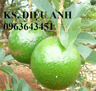 Cung cấp cây giống bơ: Bơ sáp, Bơ booth7, Bơ 034, bơ trái dài năng suất cao, giá tốt, giao toàn quốc