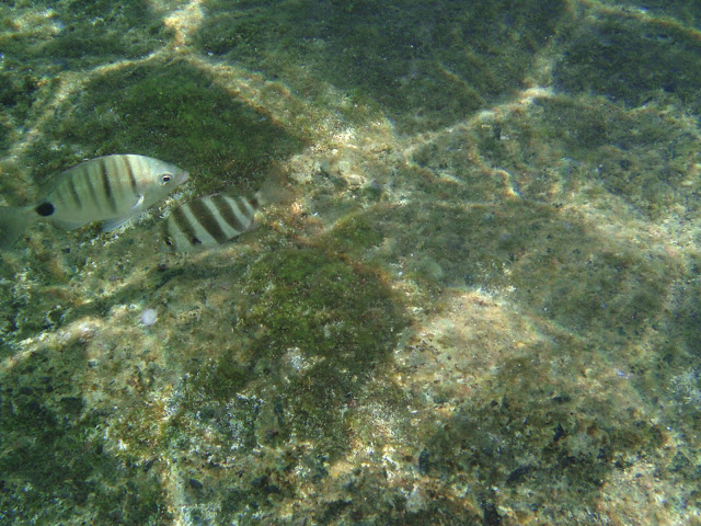 Spitzbrasse - Diplodus puntazzo © Canarian Sea 02