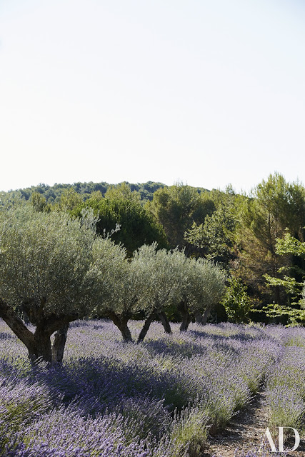 Olive trees underplanted with lavender on French country estate of Frederic Fekkai seen on Hello Lovely