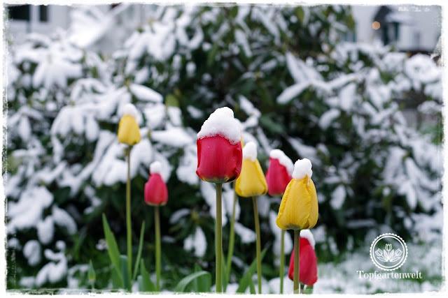 Gartenblog Topfgartenwelt Wintereinbruch im April: Tulpen mit Schneehaube