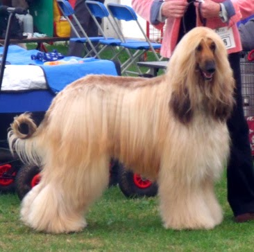 white afghan hound dog...