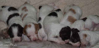 Brittany pups