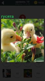 В траве между цветами сидят гусята и щелкают клювами