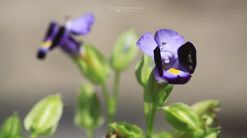 Koleksi Gambar Bunga Torenia Fournieri