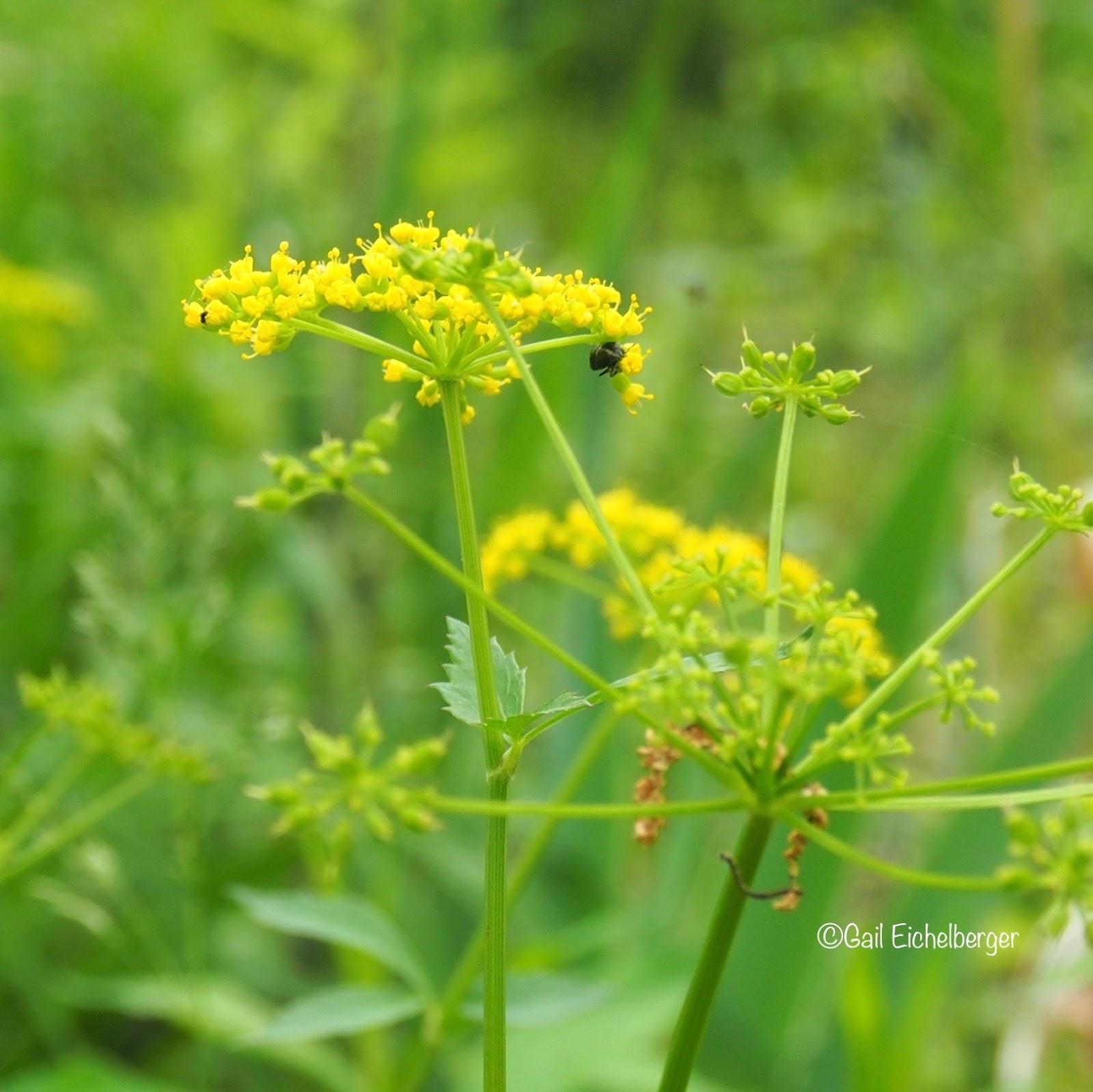 clay and limestone: wildflower wednesday: golden alexander
