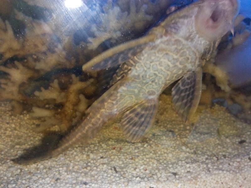 Gambar Ikan Hias Aquarium Tanpa Oksigen - Ikan sapu sapu