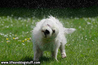 dog shaking after dog bath.