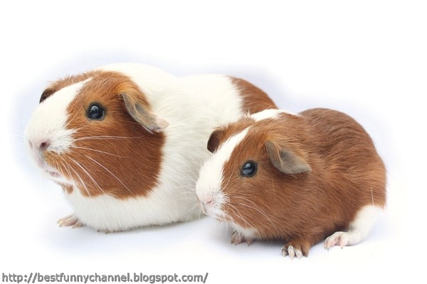 Two cute guinea pigs.