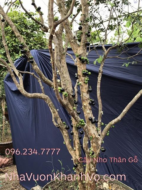 Sản phẩm cần bán: Nho thân gỗ - Món quà tặng đặc biệt, mới lạ Cay-nho-than-go-khanh-vo-3