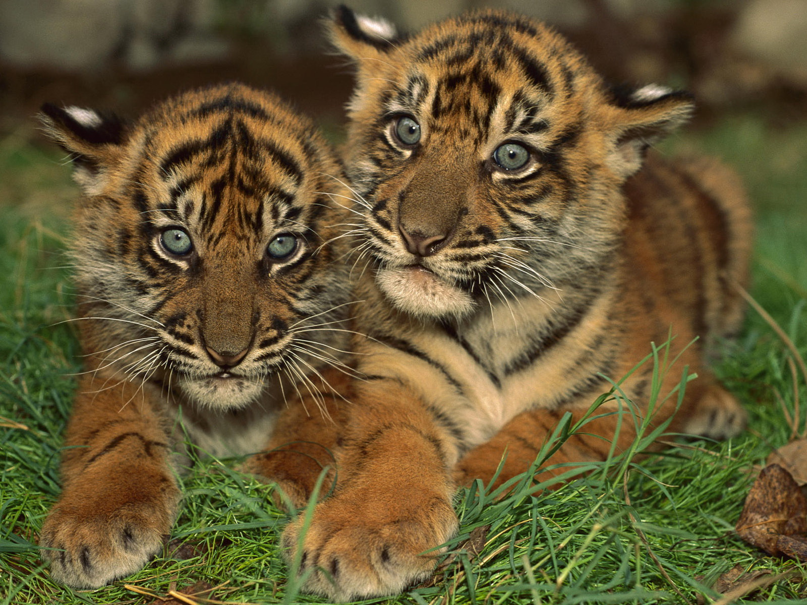 Funny wallpapers hd wallpapers cute tiger background - Cute baby animal desktop backgrounds ...