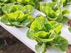 Mengapa Memilih Sayuran Organik yang Ditanam dengan Media Hidroponik ?