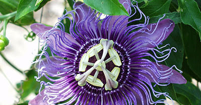 Passion Flower Extract and Its Effects on Anxiety