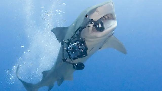 a tiger shark's diet
