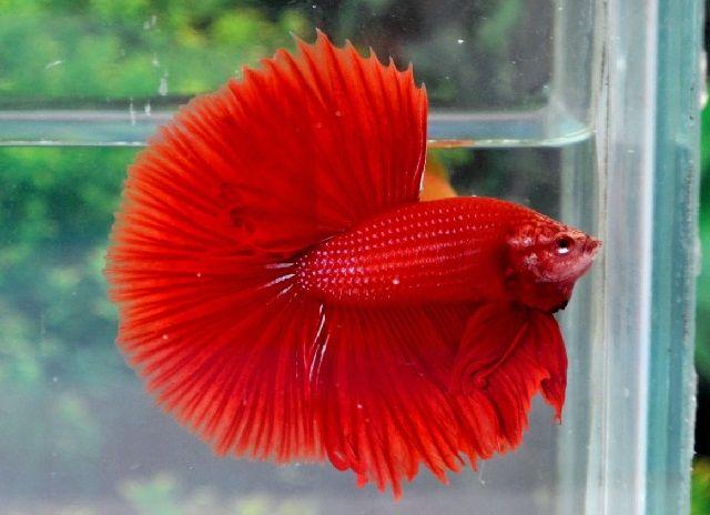 Ikan Hias Merah
