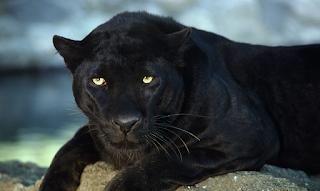 Φροντιστές στο Αττικό Ζωολογικό Πάρκο θανάτωσαν δυο ιαγουάρους που δραπέτευσαν