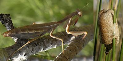 ωφέλιμα έντομα-μαντώδη