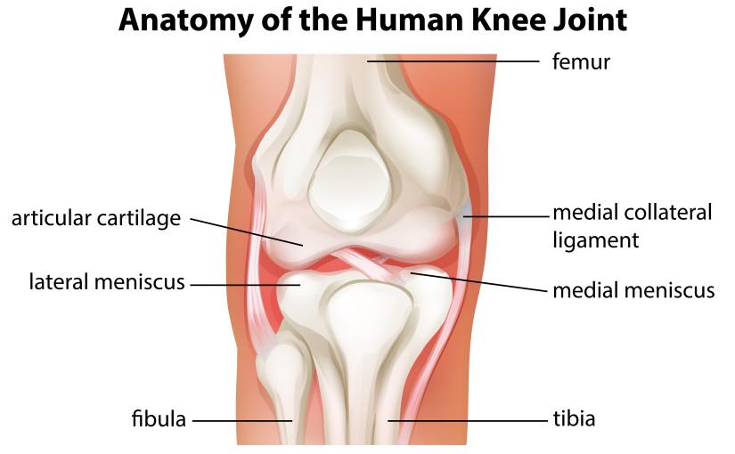 Knee Bursa Anatomy Gallery - human body anatomy