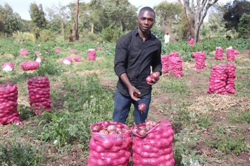 open field tomato farming in kenya Whether cultivating tomatoes, onions, kales, spinach, carrots, lettuce, beetroot, or any other nutritious vegetable, drip irrigation is the most efficient way to supply water to crops we work closely with farming communities to provide rural families with the resources they need to establish a year-round productive vegetable garden.