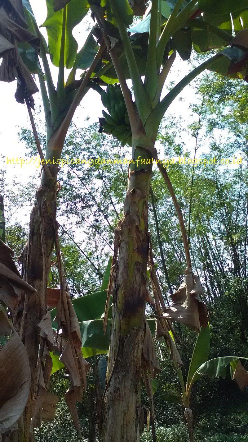 Gambar Pohon pisang yang memiliki nama lain pisang sepatu