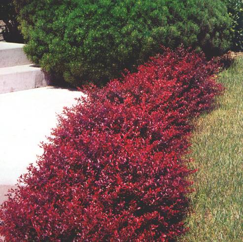 Bayindir botan k bodur berberis berberis thunbergii for Arbusti ornamentali
