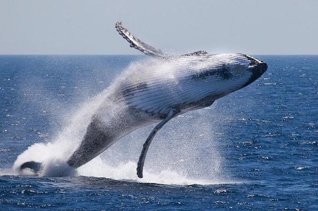 Τολμηρός Έλληνας έπεσε στην θαλασσα και κολύμπησε μαζί με φάλαινα φυσητήρα (βίντεο)