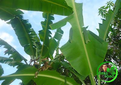 FOTO : Tanaman pisang yang terserang ulat daun. Foto dikebun pisang admin