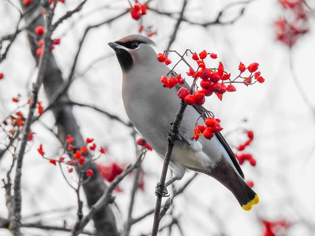 Waxwings Birding Photo by Charlene