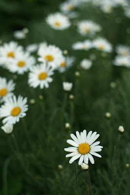 wild daisies, flowers