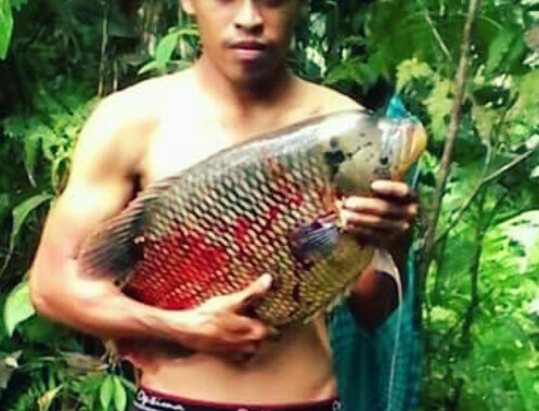 Umpan Jitu Mancing Ikan Gurame Alami Dan Racikan Hobinatang