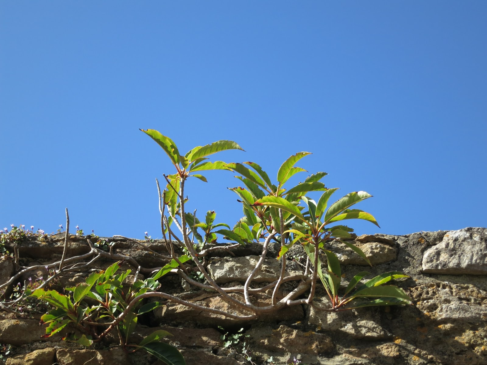 Plant with wood roots and stems on top of a stone wall in front of deep blue sky