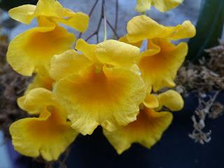 Dendrobium Ueang Pheung - Dendrobium aggregatum x Dendrobium jenkinsii